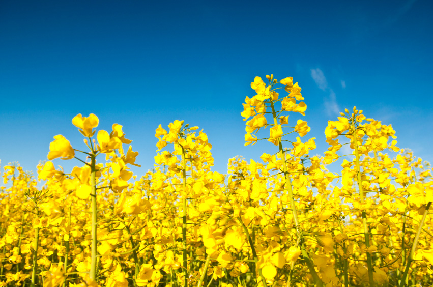 Canola Fields Quotes: Market Spotlight: Canola