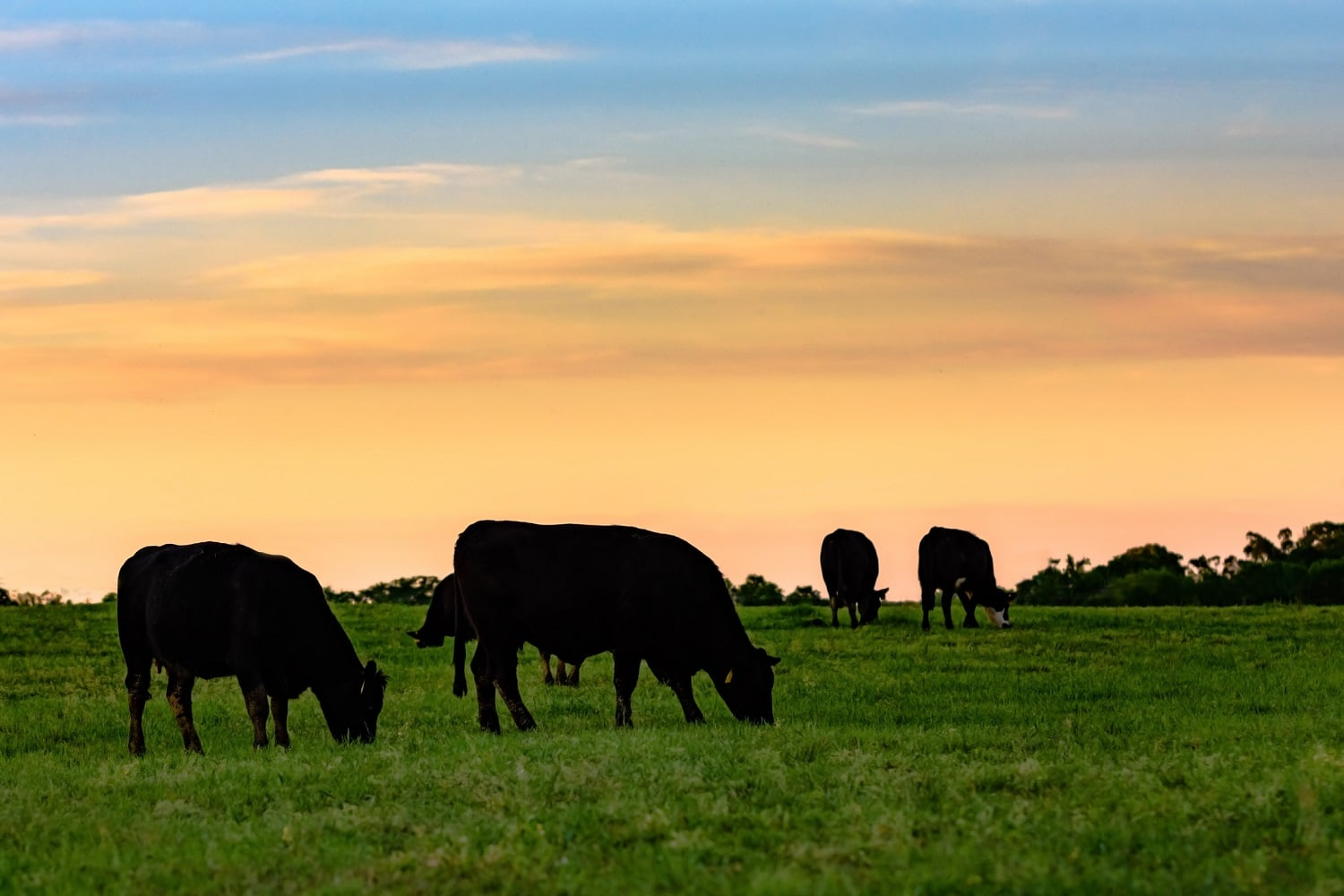 Cattle Market Predictions: How To Anticipate Market Moves   Daniels Trading
